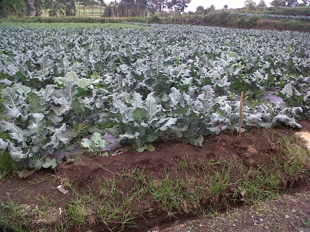 Brokoli (Brassica oleracea var. Botrytis)