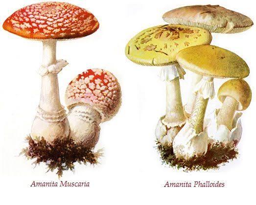 "Tugas Mikrobiologi ""Amanita Phalloides: The death Cap"""